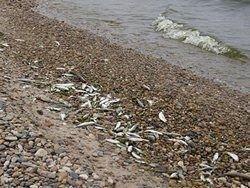 Рыба массово гибнет на Байкале