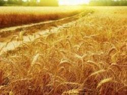 Новость на Newsland: В РФ вывели сорт пшеницы с урожайностью 132 ц/га