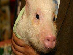 Ученые решили проблему отторжения свиных органов