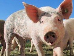 Китай увеличит число поставок свинины в РФ