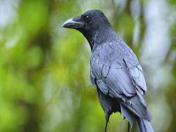 Новость на Newsland: Вороны боятся смерти и изучают ее причины