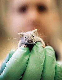 Мученица науки: мышь уже сто лет остается главным объектом медицинских экспериментов