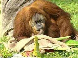 В зоопарке Майами умер самый старый на планете орангутан