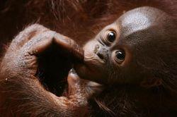 Орангутанги умеют сопереживать и имитировать реакции друг друга