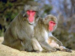 У обезьян тоже существует любовь за деньги, выяснили ученые