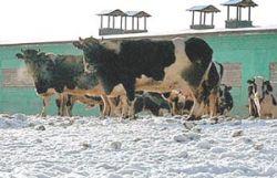 В Иркутской области из-за эпидемии забито более 100 коров