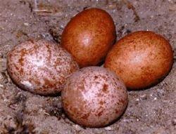 Восемь предыдущих судимостей не остановили коллекционера яиц