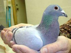 В Англии на аукцион выставлены портреты голубей-героев
