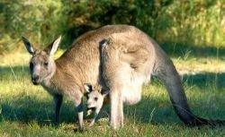 Ученые заставят коров портить воздух так, как это делают кенгуру