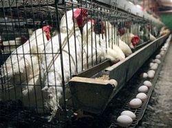 Министерство сельского хозяйства Израиля: птичий грипп пришел в Афулу