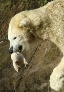 В Нюрнбергском зоопарке белая медведица съела своих медвежат (фото)