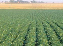 Солнечные зерновые спасут от глобального потепления