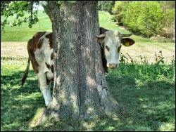 В Голландии нашли новый способ борьбы со стрессом - нужно просто обнять корову