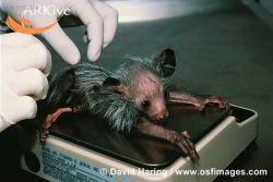 В Британии родилась редчайшая Мадагаскарская руконожка (фото)