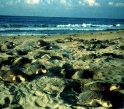 В Индии гибнут редкие черепахи