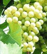 Виноград в борьбе с бактериями полости рта