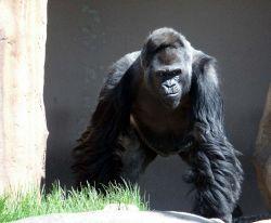 Из тайваньского зоопарка сбежала горилла. Есть пострадавшие