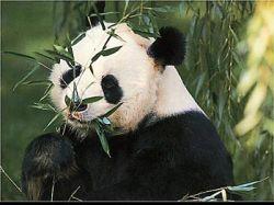 Китайцы вывели из комы гигантскую панду