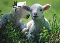 В Белоруссии будут разводить коз с человеческим молоком