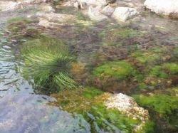 Японские специалисты получают энергию из водорослей