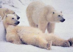В Арктике закончились белые медведи