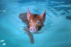 Свинья из Австралии установила рекорд по прыжкам в воду (видео)