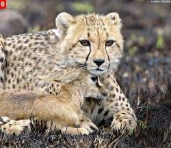 Удивительный случай из жизни кенийских гепардов (фото)