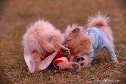 Настоящие собачьи бои (фото)