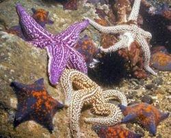Морские звезды разрушают знаменитый коралловый треугольник