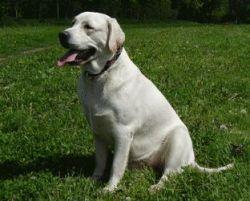 Лабрадор - самая популярная порода собак в США