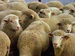 В Башкирии за неуплату алиментов арестовали отару овец