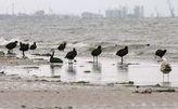 Российских экологов научат в США, как спасать птиц от разливов нефти