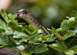 Вьетнамские таможенники конфисковали более тонны «краснокнижных» змей