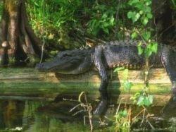 В Индии гибнут крокодилы-эндемики