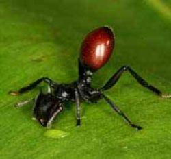 Черви нематоды научились превращать муравьев в ягоды