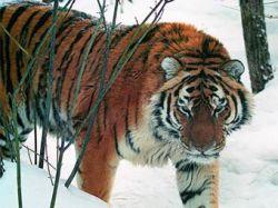В Хабаровском крае автобус задавил амурского тигра