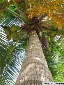 Открыт новый род пальм, погибающих после плодоношения