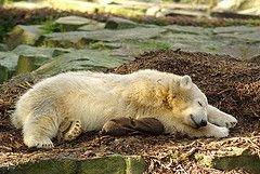 Полярный медвежонок уже имеет более 2 миллионов фанатов в интернете