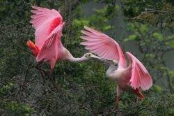 Колпица розовая: красивые фото экзотического аналога аиста (фото)