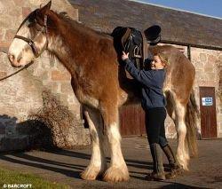 Самая большая лошадь Великобритании продолжает расти (фото)