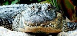 Австралиец ранил коллегу из-за крокодила