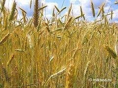 Запасы пшеницы в мире продолжают снижаться
