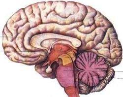 Японские ученые выяснили механизм блокировки нервных систем мозга