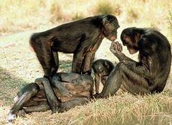 Впервые доказано, что человеческие болезни поражают человекообразных обезьян
