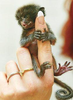 В зоопарке немецкого города Виттенберг родился малыш из рода игрунковых обезьян
