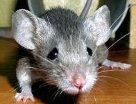 Япония отправит в космос мышей