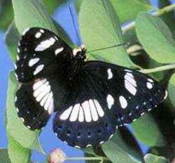 Красноярский коллекционер попал в тюрьму Мадагаскара за ловлю бабочки