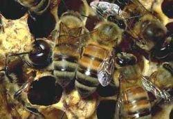 В Италии погибла половина пчел