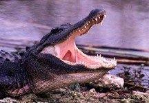 В пруду австралийского гольф-клуба поселился крокодил
