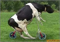 Коровий бег с препятствиями - новое развлечение индусов (видео)